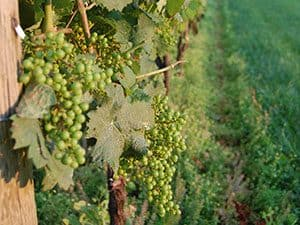 Mouthwatering green grapes just before harvest at Setter Ridge Vineyards in Reading, PA