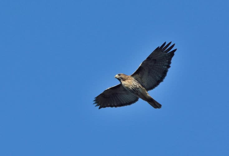 A Red Tailed Hawk soars through the air above Hawk Mountain Sanctuary
