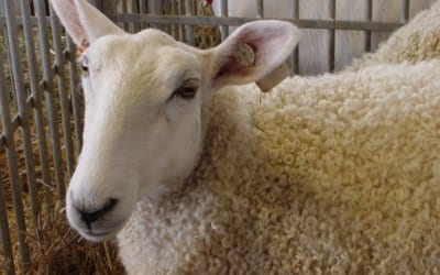 Sheep shearing & more this weekend in Berks County, PA